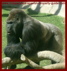 Gorilla at Fuengirola zoo.